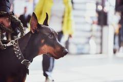 Utställning av hundkapplöpning, Doberman med ägaren, royaltyfria bilder