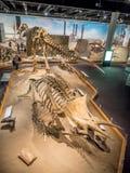 Utställning för dinosauriefossil Fotografering för Bildbyråer