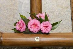 Camellia blommor, utläggning arkivbild