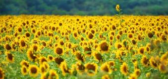 utstående solros Arkivfoton