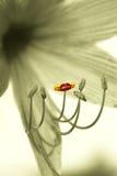 utstående stamen för lilja Arkivbild