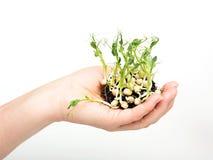 Utsträckt hand med en ny plantaärtaväxt Fotografering för Bildbyråer