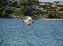 Utsträckta vingar Fotografering för Bildbyråer