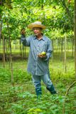 Farmer wearing hat picking up passion fruit stock photos
