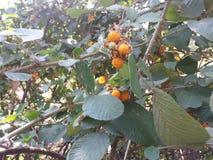 Uttarakhand印度莓果 免版税库存照片