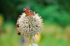 Utterfly del ojo del pavo real en la flor bola-formada fotos de archivo