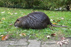 Uttern söker efter en mat på gräs med grön bakgrund Royaltyfri Fotografi