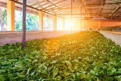 Uttorkningprocess av tebladen på en tefabrik Arkivbild