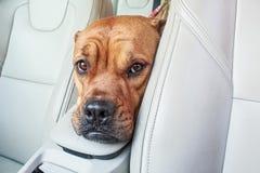 Uttråkad bullmastiffhund i bil arkivbild
