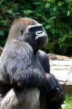 Uttråkad gorilla Arkivfoton