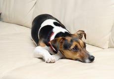 uttråkad hund Fotografering för Bildbyråer