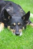 uttråkad hund royaltyfria foton