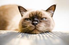 uttråkad katt Royaltyfria Foton