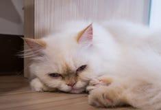 Uttråkad katt i kaffekafét Arkivfoton