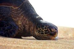 Uttråkad & lat havssköldpadda som vilar, vara slö som solbadar på den Maui sandstranden Royaltyfri Fotografi