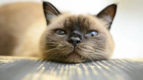 Uttråkad och trött katt arkivfilmer