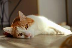 Uttråkad ung katt Arkivfoton