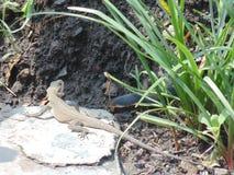 Uttrakhand lizard. Lizard of uttrakhand are around 5-6inches long Stock Photos
