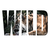 Uttrycka LÖST över den vuxna tigern som ligger på träbräden och att slicka som är höga Arkivbild