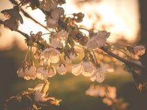 Uttrycksfullt backlit foto av körsbärsröda blomningar Arkivfoton