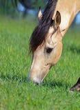 Uttrycksfullt huvud av hjortläderhästen arkivfoton