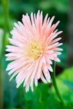 uttryckt nöje för makro för förälskelse för livstid för gerbers för blommablommagerbera som är sol- till Royaltyfri Bild