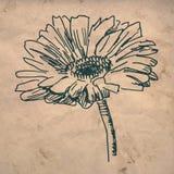 uttryckt nöje för makro för förälskelse för livstid för gerbers för blommablommagerbera som är sol- till royaltyfri illustrationer