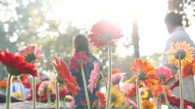 uttryckt nöje för makro för förälskelse för livstid för gerbers för blommablommagerbera som är sol- till lager videofilmer