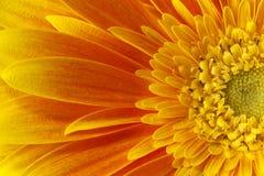uttryckt nöje för makro för förälskelse för livstid för gerbers för blommablommagerbera som är sol- till Royaltyfria Foton