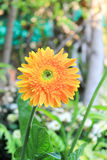 uttryckt nöje för makro för förälskelse för livstid för gerbers för blommablommagerbera som är sol- till Arkivfoton