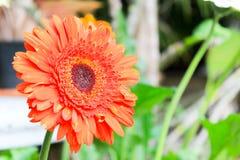 uttryckt nöje för makro för förälskelse för livstid för gerbers för blommablommagerbera som är sol- till Arkivbild