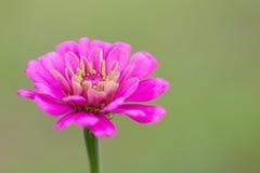 uttryckt nöje för makro för förälskelse för livstid för gerbers för blommablommagerbera som är sol- till Arkivfoto