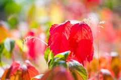 Utumn colors, red and green leaves Stock Image
