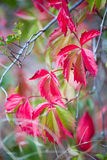 Utumn colors, red and green leaves Royalty Free Stock Image