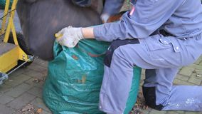 Utumn leaves, worker with work gloves fills leaves in plastic bag stock footage