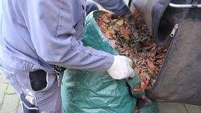 Utumn leaves, worker with work gloves fills leaves in plastic bag stock video