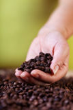 Utvärdering av kaffeskörden Arkivfoto