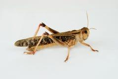 Utvandrande gräshoppa (locustamigratoriaen) - rätsida Arkivbild