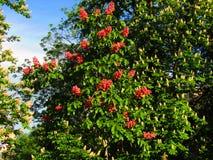 Utvecklingar för kastanjebrunt träd av liv royaltyfri foto