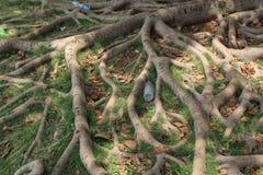 Utvidgat rotar av Banyanträd på den Kolab botaniska trädgården Royaltyfria Foton