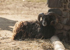 Uuessant sheep Stock Images