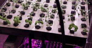 UV αυξηθείτε τα φω'τα για την ανάπτυξη των εγκαταστάσεων Hydroponics φυτικό αγρόκτημα Φω'τα οδηγήσεων επάνω για την ανάπτυξη των  απόθεμα βίντεο