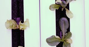 UV cresça luzes para plantas crescentes Exploração agrícola do vegetal da hidroponia Luzes do diodo emissor de luz sobre para pla video estoque