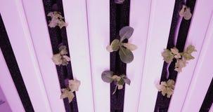 UV cresça luzes para plantas crescentes Exploração agrícola do vegetal da hidroponia Luzes do diodo emissor de luz sobre para pla filme
