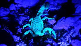 UV Scorpion Hunting at Night on Rocks3. UV Scorpion Hunting at Night on Rocks stock image