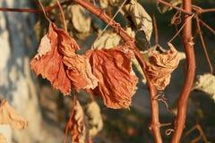 A uva amarela seca deixa a suspensão em um ramo Imagens de Stock Royalty Free