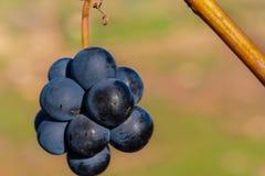 Uva in autunno tardo che appende al sole immagini stock