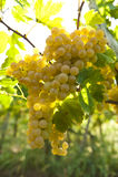 Uva bianca che appende modulo una vite Fotografie Stock
