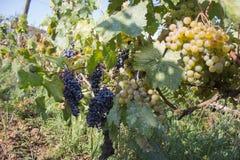 Uva bianca che appende su un cespuglio in un bello giorno soleggiato Dettaglio del raccolto fatto a mano dell'uva in vigna georgi Immagine Stock