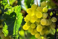 Uva bianca che pende dalla vite verde con il fondo vago della vigna fotografia stock
